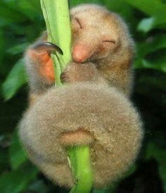 Silky Anteater. Looks so happy : )