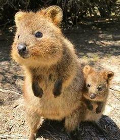 Quokka mum and baby