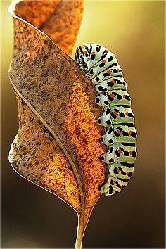 ** caterpillar