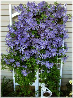 The blooms this year on my clematis were abundant!