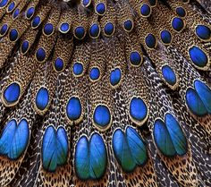 Brilliant :) (Imperial Peacock Pheasant Feathers)??