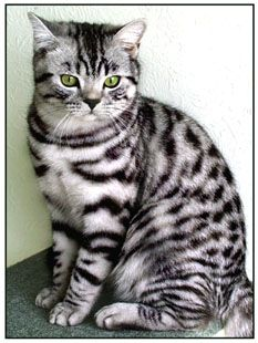 British shorthair silver tabby <3  Good grief this cat is beautiful!