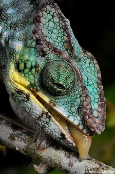 Chameleon by AnimalExplorer Les Reptiles, Reptiles And Amphibians, Nature Animals, Animals And Pets, Cute Animals, Beautiful Creatures, Animals Beautiful, Chameleon Lizard, Salamander