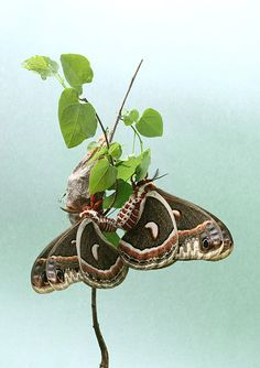 Hyalophora_cecropia+http://www.myrmecos.net/2011/06/28/answer-to-the-monday-night-mystery-cecropia-moth/
