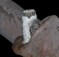 Powerful Owl (Ninox strenua) juvenile at nest. Photo by Richard Jackson.