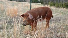 pictures of red hogs and pigs   Size of this preview: 800 × 450 pixels . Other resolutions: 320 ...