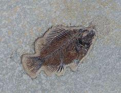 Fossil Fish - Diplomystus Knightia Species