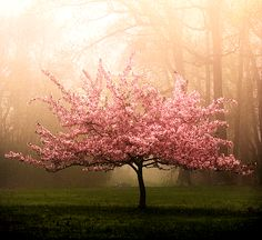 cherry blossom tree~another must have for our yard, but I would love to have a lane of them!!!