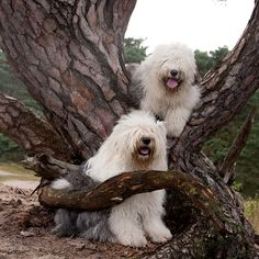 """Old English Sheepdogs """"barking up the tree"""" Funny Dogs, Cute Dogs, Funny Animals, Cute Animals, Great Pictures, Dog Pictures, Big Dogs, Dogs And Puppies, Bearded Collie"""