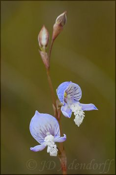 Disa venusta - Found in southwestern and eastern Cape Province South Africa in damp areas in full sun at elevations of sea-level to 1000 meters as a medium-sized, cool to cold-growing terrestrial