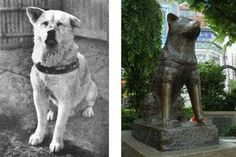 No dog room is complete with the most famous Akita in Japan, Hachiko Dog Stories, True Stories, Hachiko Dog, Hachi A Dogs Tale, A Dog's Tale, Akita Dog, Akita Puppies, Loyal Dogs, Real Dog