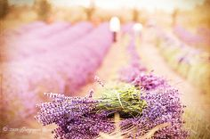 https://flic.kr/p/6FQRkS | Lavender Harvest | Explore July 18, 2009. Thank you, thank you! You guys are the best! :)  The lavender harvest at Purple Haze Lavender Farm. We spent all day Tuesday photographing the lavender farms and fields in Sequim, Washington, and were lucky enough to capture the harvest at this organic farm, which is still done by hand. Thus I thought it warranted a vintage treatment. The Lavender Festival takes place this weekend.  My own LR preset, plus the wonderful…