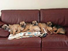 :) i wish i had a home with so many border terrier i love the breed, perfect dogs