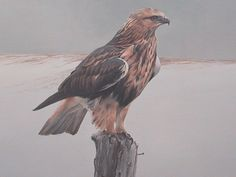 Robert Bateman Rough Legged Hawk On Fence - Detail presented by ...