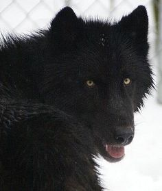 High content black phase! My favorite! If the dog is high content it is very hard to determine of it's not pure wolf.