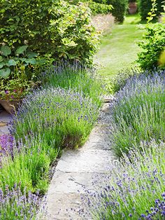 Add some lavender to your yard — it's practically indestructible, genuinely deer-resistant, and comes in beautiful hues. #Gardening