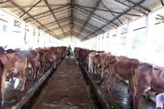 Red Sindhi cow  dairy farm