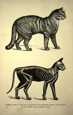 """Cats in Art & Illustration: From """"The cat; an introduction to the study of backboned animals, especially mammals"""" by St. Cat Skeleton, Skeleton Drawings, Cat Anatomy, Animal Anatomy, Crazy Cat Lady, Crazy Cats, Animal Skeletons, Chesire Cat, Cat Drawing"""