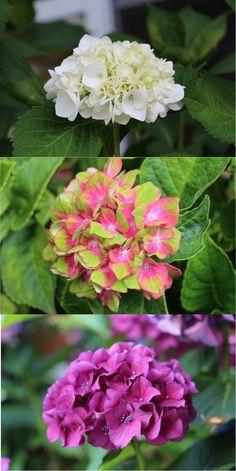 so this started happening today the vanilla strawberry hydrangeas are starting to show - Vanilla Strawberry Hydrangea
