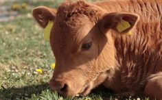 These Drugs Fatten Up Cattle and Make It Painful to Walk so don't give them to your cattle