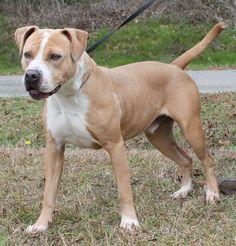 American Pit Bull Terrier dog for Adoption in Prattville, AL. ADN-436735 on PuppyFinder.com Gender: Male. Age: Young