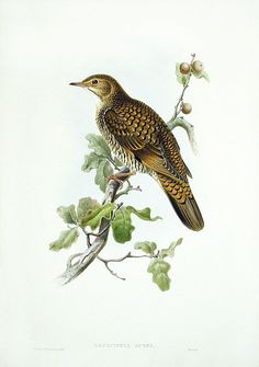 White's Thrush by Gould USD $325 Sale Price: $225 John Gould Birds of Great Britain 1862