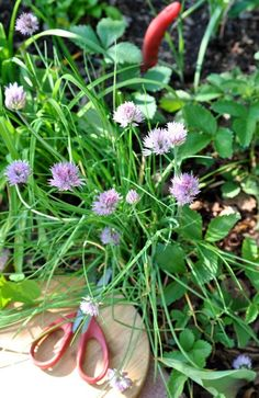growing guide for chives