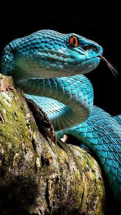 Pit viper snake wallpaper - photo#49