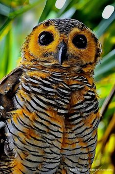 bumble bee owl....