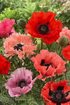 Oriental Poppy Papaver Orientale Flowers Print by VisionsPictures