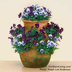 Pansies & Violas in Containers - Plant Care Today