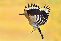 hoopoe Upupa epops by Erik Muller on Bird, Pets, Animals, Owl, Space, Amazing, Nature, Free, Floor Space