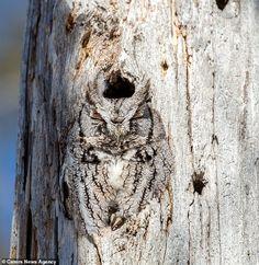 Owl Photos, Owl Pictures, Animals And Pets, Funny Animals, Cute Animals, Beautiful Owl, Animals Beautiful, Owl Bird, Pet Birds