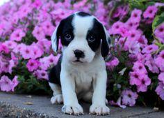 Nielson, Boston Terrier Mix Puppy