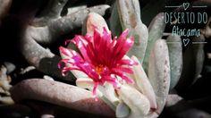 Flores do Deserto. San Pedro de Atacama Chile. Viagens para recordar. Um lugar pra voltar. #sanpedrodeatacama #atacama #desert #nature #chile #mercosul #americadosul #sudamerica #viagem #férias #trip #travel #ootd #photooftheday #memories