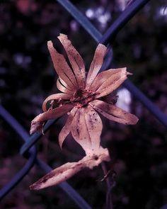 ... Dead #flower ... by sogolsamimi