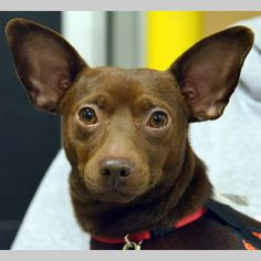 Rambo Man is an adoptable Chihuahua Dog in Indianapolis, IN You can fill out an adoption application online on our official website. If you are intereste ... ...Read more about me on @petfinder.com