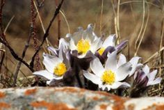 Prairie crocus in full bloom; one tale connects the creation of the species with the west wind, Zephyr. A forbidden love between Anemone, a nymph, and Zephyr caused an angry Flora (the goddess of flowers) to banish the nymph from her court. When the broken-hearted Anemone died, Zephyr persuaded Venus to change her body into a flower that would bloom when spring began. (Photo by NCC)