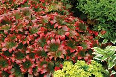 Red-Leafed Mukdenia  Creamy white blossoms give way to splashes of scarlet with this energetic, dramatic ground cover