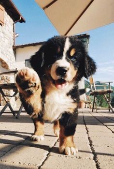 welcome to my puppies' fan page ; Super Cute Puppies, Cute Dogs And Puppies, Baby Dogs, I Love Dogs, Doggies, Adorable Puppies, Cute Little Animals, Cute Funny Animals, Mountain Dogs