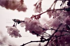 Cherry Blossom Tree in Spring Background Close-up of a Cherry Blossom Tree in Spring Background Backgrounds Stock Photo Cherry Blossom Tree, Blossom Trees, Video Image, Feature Film, Photo Illustration, Image Now, Background Images, Royalty Free Images, Close Up