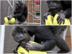 A 'frisbee tower' makes great enrichment for chimpanzees! Linked site is not in English but this is a great idea!