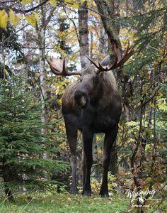 Moose at Yellowstone National Park