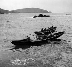 Bringing a cow in a naomhog to the Blasket Islands, Co. Kerry