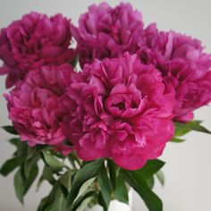 Peony Care and Handling