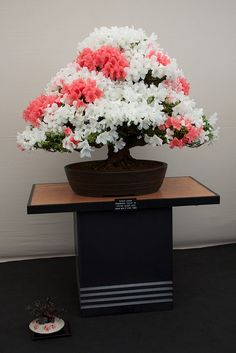 Bonsai - gorgeous blossoms! IMG_2833 | Flickr - Photo Sharing!