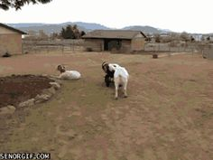 Those goats didn't care about Cindy so she doesn't care about them. | 27 Animals Who Don't Give A F**k