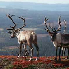 Finnish Lapland is the home of Northern Lights, endless summer nights, arctic way of life, reindeer – and Santa Claus. Welcome to Lapland! Places To See, Norway, Scandinavian, Northern Lights, Tourism, National Parks, Camping, Autumn Colours, Helsinki