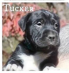 Willingboro, NJ - Labrador Retriever/Shar Pei Mix. Meet Tucker, a puppy for adoption. http://www.adoptapet.com/pet/14484451-willingboro-new-jersey-labrador-retriever-mix