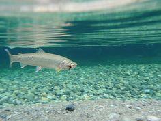 Megin Lake underwater trout